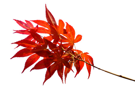 acer palmatum: Japanese Red Autumn maple tree leaves Acer palmatum Isolated on white background