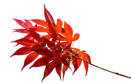 acer palmatum: Japanese Red Autumn maple tree leaves Acer palmatum Isolated on white background