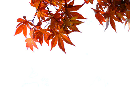 palmatum: Japanese red autumn maple tree leaves. Acer palmatum. Isolated on white background