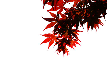 wilting: Red maple leaves