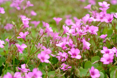 creeping woodsorrel: Pink Oxalis Stock Photo