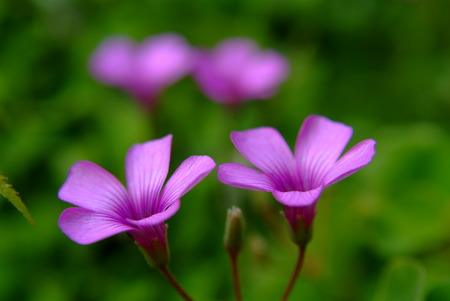 creeping woodsorrel: Pink Oxalis Stock Photo