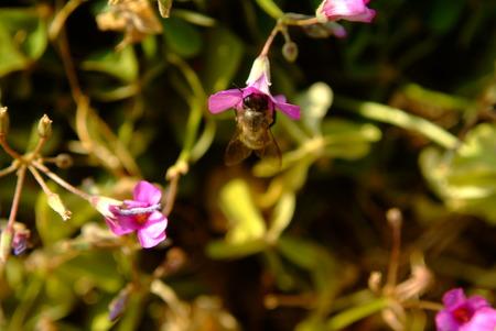 apocrita: Flower and bee