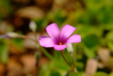 creeping woodsorrel: Pink oxalis flower close up.