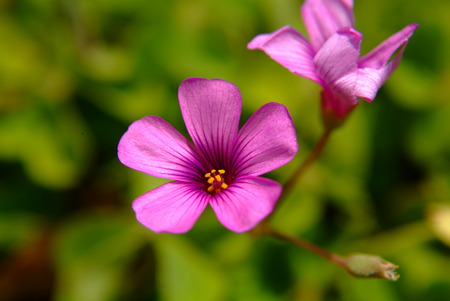 corniculata: Pink oxalis flower close up.