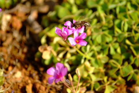 Oxalis Blooms with Bee photo