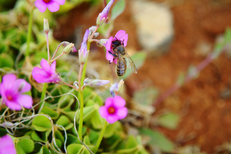 oxalidaceae: Oxalis Blooms with Bee
