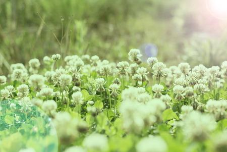 trifolium repens: White clover Trifolium repens. Flower of the clover.