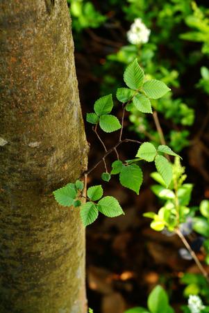 榆樹pumila L.關閉視圖 版權商用圖片