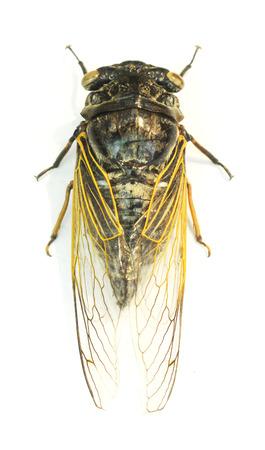 Exemplar: Cicada isolated on white background.