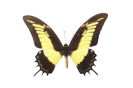 diurnal: Butterfly with black and yellow color Stock Photo