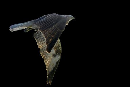 aigle royal: Aigle, isol�