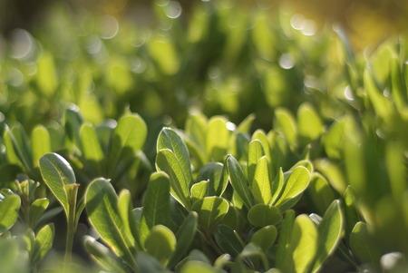 asterids: Green Shrub Pittosporum tobira Stock Photo