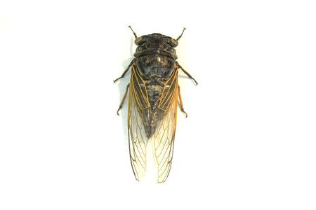 vermin: Cicada