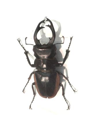 lucanus: Stag beetle Lucanus cervus the largest european beetle an endangered species Stock Photo