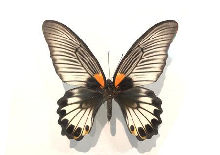 fantasy butterfly: Fantasy butterfly