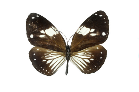 whitespace: The Black Butterfly