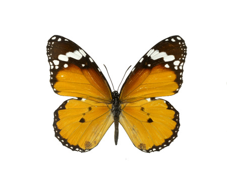 butterfly isolated: Monarch butterfly Stock Photo