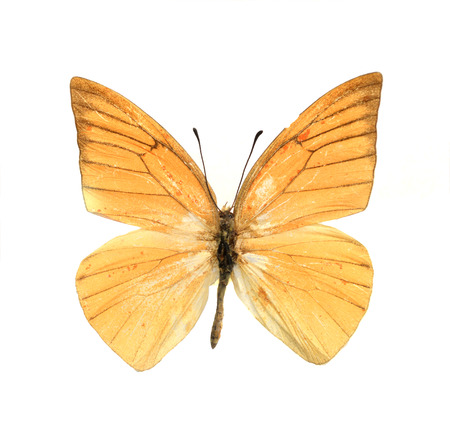 viceroy: Flying butterfly