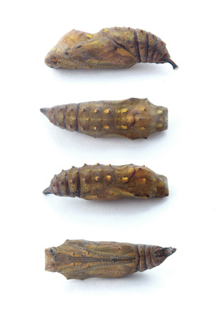 brassicae: Butterfly pupa isolated on white