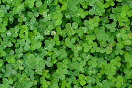 thick growth: Green grass clover seamless texture Stock Photo