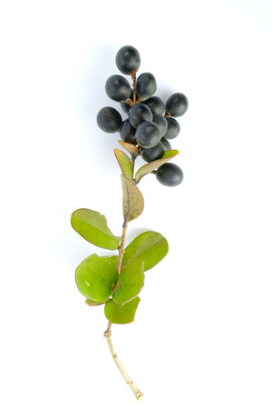 ovoid: Winter privet twig isolated on white background