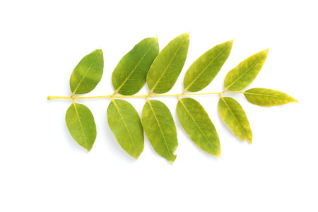 laurel mountain: Leaf isolated Stock Photo