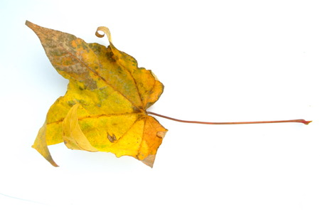 carotenoid: Dry  Maple