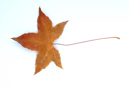 sear and yellow leaf: Dry  Maple