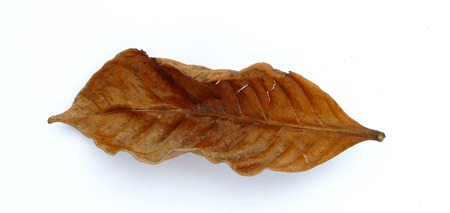 withered: Isolated withered leaf