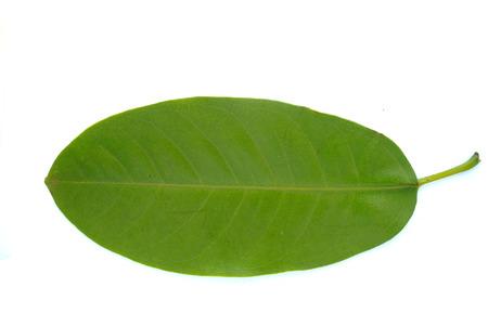 ficus: Ficus Leaves Stock Photo