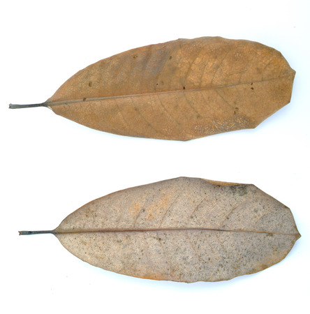 withered: The withered  Magnolia  leaves