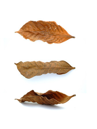withered: The withered Gardenia leaves Stock Photo