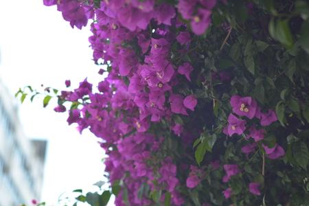 bougainvillea: bougainvillea Stock Photo