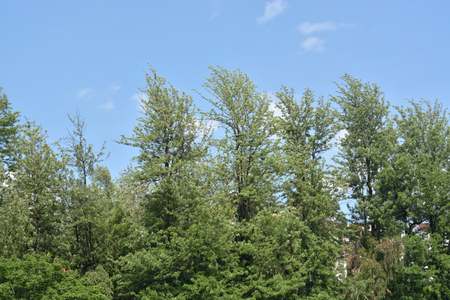 中國冷杉灌木在藍天下