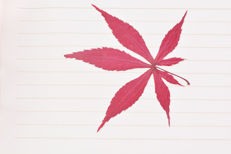 red maple leaf: Japanese red maple leaf isolated Stock Photo