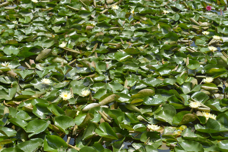 water plants: water lily leaves