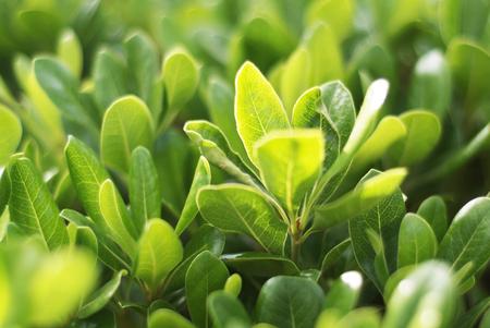 shrub: Green Shrub Pittosporum tobira Stock Photo