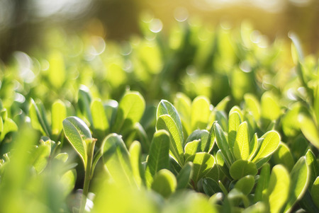 tropical shrub: Green Shrub Pittosporum tobira Stock Photo