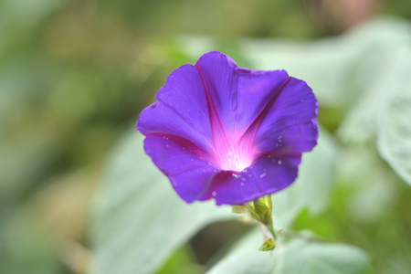 soft diffused light: Morning glory flower Stock Photo