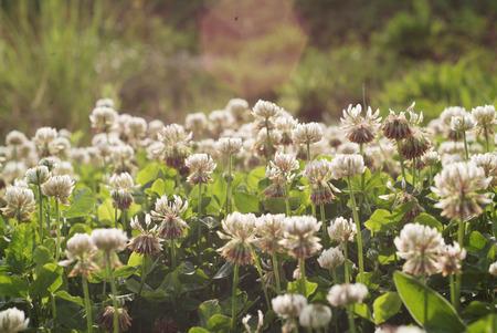 trifolium repens: White clover Trifolium repens