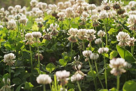 repens: White clover Trifolium repens