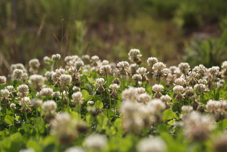 trifolium: White clover Trifolium repens