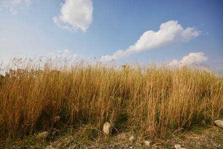 phragmites: Reed over blue sky Stock Photo
