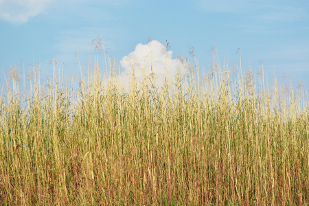 reed: Reed  and sky