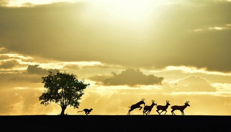 cheetahs: Cheetahs chasing the deers under the sunset
