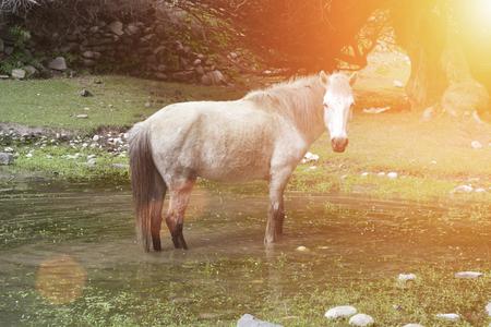 在草原上的白色野馬 版權商用圖片