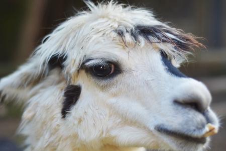 alpaca: alpaca in alpaca farm Stock Photo