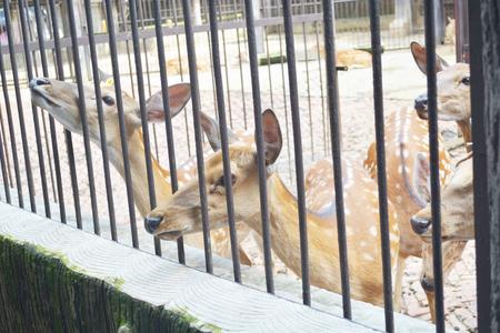 nippon: sika deer lat. Cervus nippon enclosed in railing at zoo Stock Photo
