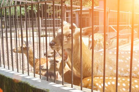 enclosed: sika deer lat. Cervus nippon enclosed in railing at zoo Stock Photo